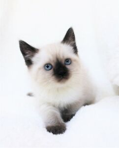 Ragdoll/Siamese  kittens  are available  for adoption