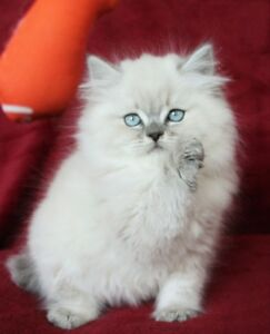 Blue Eyed PERSIAN HIMALAYAN Male Kitten