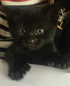 Beautiful black kitten, polydactyl, Siamese x Egyptian mau
