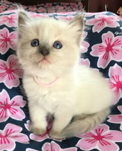 $150 off registered Ragdoll Kittens!