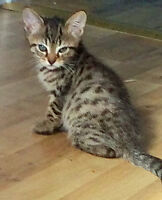ONLY 2 LEFT - F6 Savannah Cubs - TICA Registered