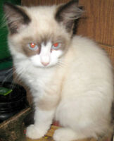8 weeks bicolour ragdoll, perfect personality