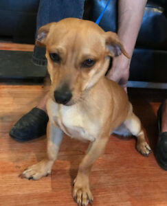 Teddy, 2yrs old, male chihuahua mix, Texas rescue for adoption