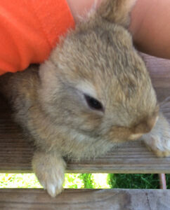 Bébé lapin 1mois