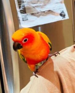 Lost 2 sun conure parrots - Sonu and Monu birds