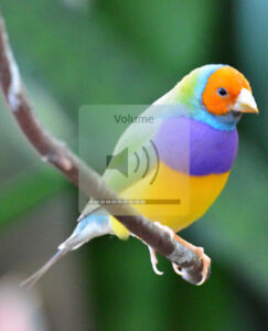 wanted:-gouldian-finches beeding  pair