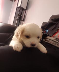 Shih tzu Pomeranian puppy for sale