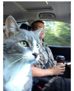 Lost, Grey and White 13 Year Old, Grey Tabby Cat