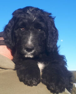 BERNEDOODLE PUPPIES READY!!!