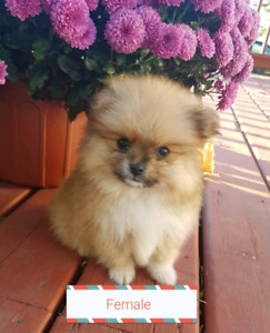 2 Pomeranian puppies for sale (1 male & 1 female)