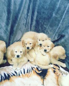 Platinum cream purebred Golden retriever puppies