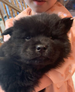 Gorgeous Chow Chow Puppy LAST 1!!!!!
