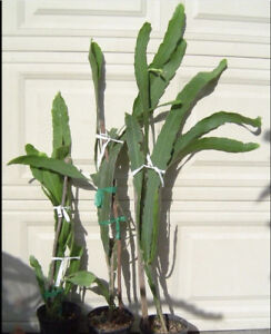 Giant orchid cactus - too large for me to move now.
