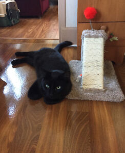 Free to a loving home . Netured 2yr old black male cat