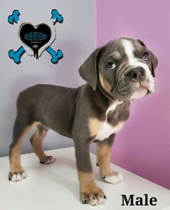 Olde Bulldogs Puppies with Beautiful Rare Colored Coats