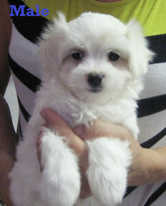 Maltese puppies one MALE left