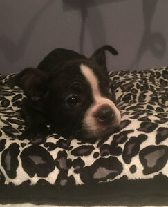 Boston Terrier Puppies Looking for New Home!
