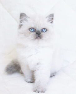 Female Persian Kittens