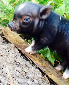 Real Mini Micro Pigs