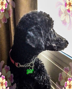 Standard Poodle Puppies * SOLD *