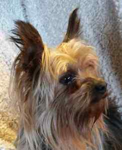 YORKSHIRE TERRIER FEMALE FOR SALE- REDUCED