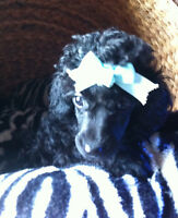 One left! Tiny Adorable Toy Poodle pups!