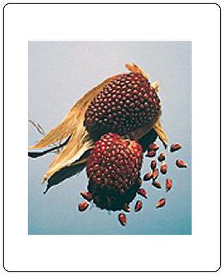 Corn Strawberry Ornamental 200 Seeds Heirloom Vegetable