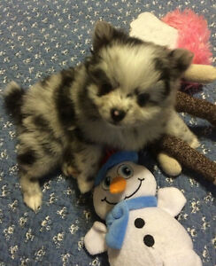 Tiny Teddy bear Pom