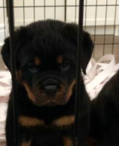 Rottweiler Puppy Adopt Dogs Puppies Locally In Ontario Kijiji