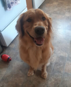 3 yr old Male Golden Retriever for sale