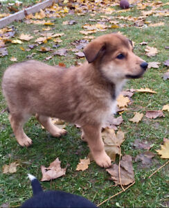 Puppy Collie Shepherd Adopt Local Dogs Puppies In Ontario
