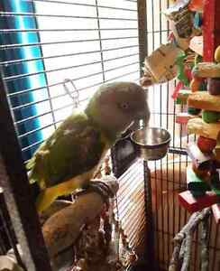6 year old senegal parrot