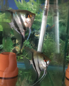 One couple of breeding angle fish