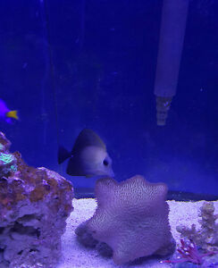 Scopas tang for sale or trade