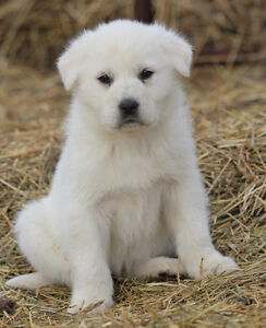 Mareema / Anatolian Livestock Guardian pups