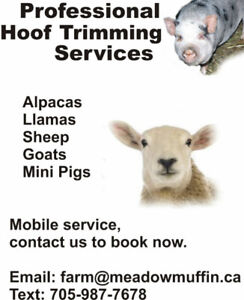 Hoof Trimming services, goats, sheep, alpacas, THIS WEEK