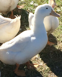 Breeding quad of white layer ducks