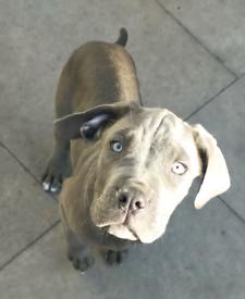 Solid blue Mastiff pups. Last 2!