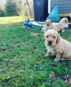Golden Puppies ( one Available )