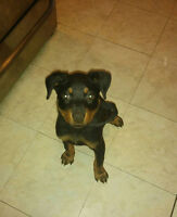 Male Rottie Puppy for sale!!!