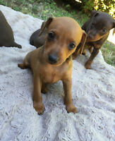 Purebred Red and Chocolate Miniature Pinscher Puppies