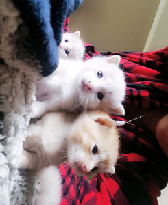 Chattons à vendre (Russian White&British long hair Ginger cat)
