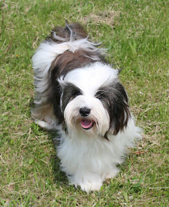2 beautiful, female Tibetan Terrier puppies available.