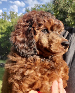 Standard Poodle | Kijiji in Ontario  - Buy, Sell & Save with