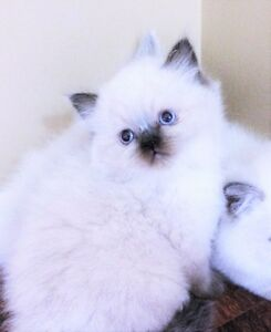 Color pointed Persian female kittens for adoption