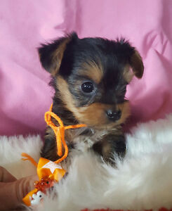 YORKIE PUPPIES *** they are here