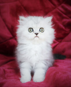 Persian Male Kittens for Rehoming