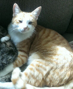Fin - Lost Male Cat - Orange Tabby with White London Ontario image 1