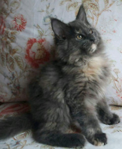 Purebred Maine Coon Kitten female