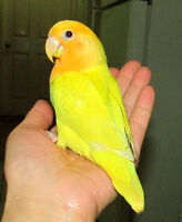 BEAUTIFUL handfed baby lovebird==SOLD
